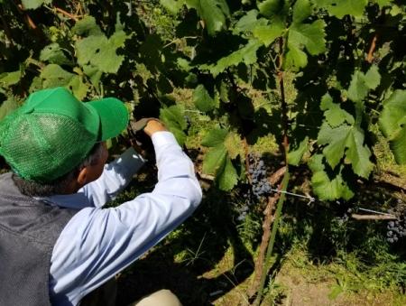 信更のワイン葡萄収穫